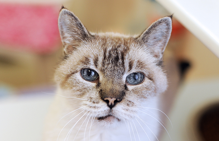 Sugar the senior Siamese cat is available for adoption