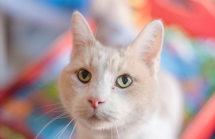 Surya the senior cat is available for adoption