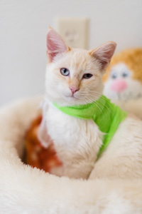 Donatello the vibrant Siamese kitten who got caught in barbed wire