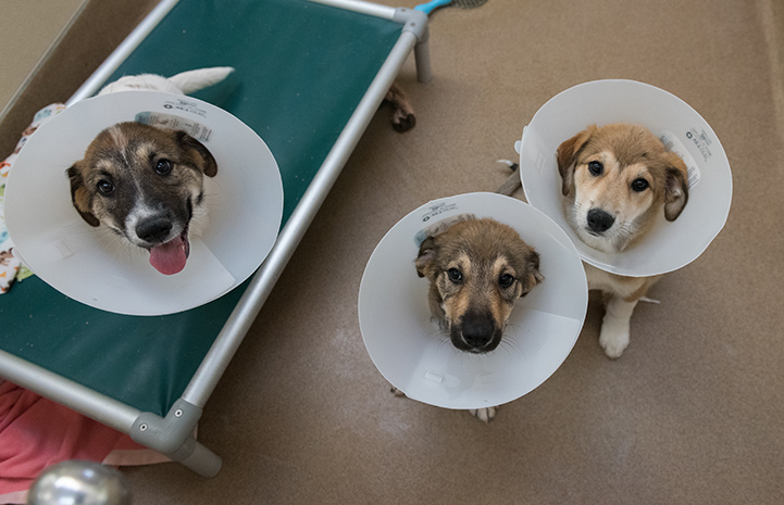 The only thing worse than the cone of shame is three cones of shame.