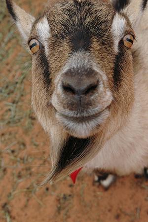 Smiling happy goat