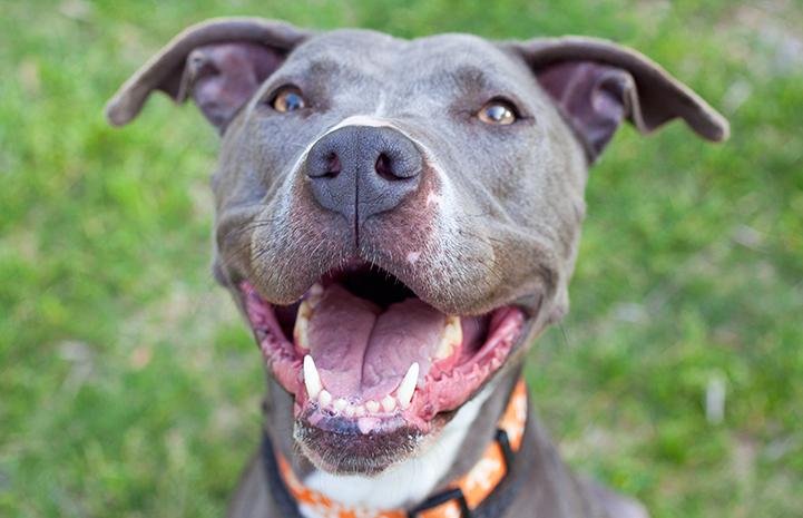Gray pit bull smiling