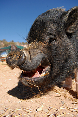 Gray pig smiling at Best Friends Animal Sanctuary in Utah
