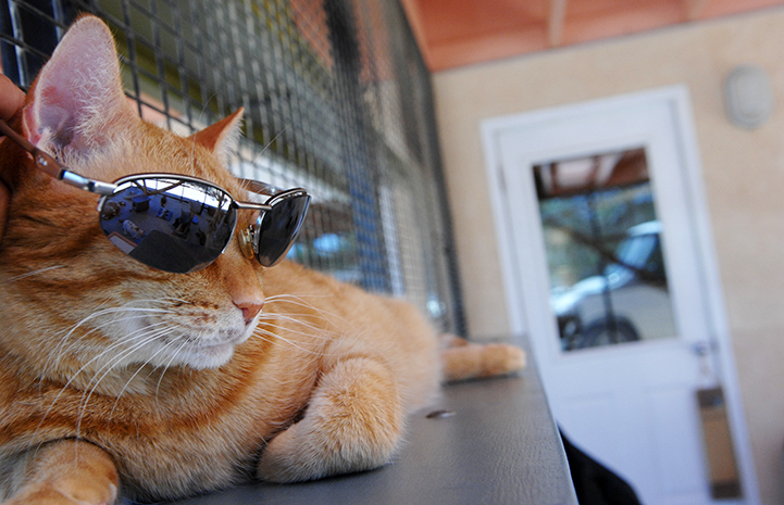 First day of summer, cat in sunglasses