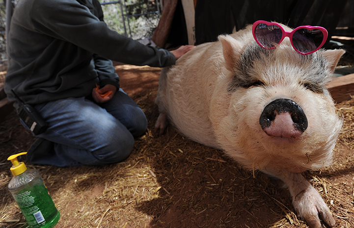 First day of summer, putting sunscreen on Hazel the pig who is wearing sunglasses