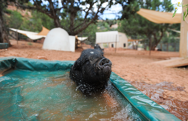 First day of summer, pig playing in a pool