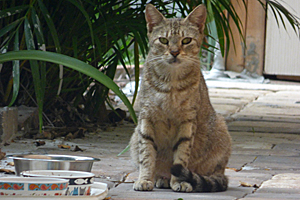 Feral cat in Florida neighborhood