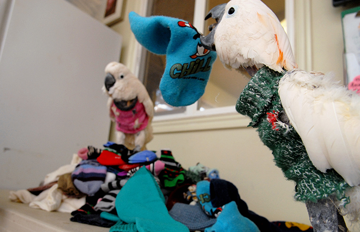 Parrots thankful for warm sock sweaters at Thanksgiving