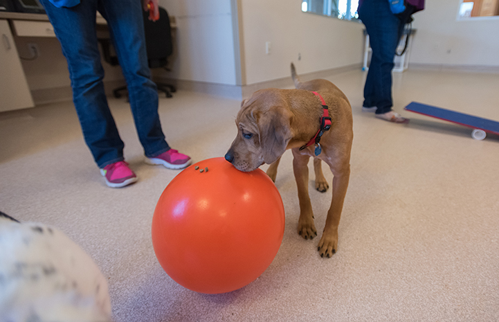 Diwali gets treats off the ball in puppy preschool