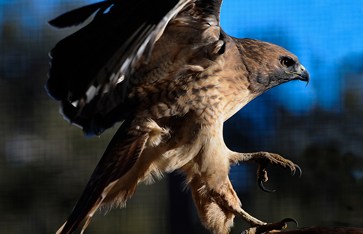 Echo the red-tailed hawk at Wild Friends at Best Friends