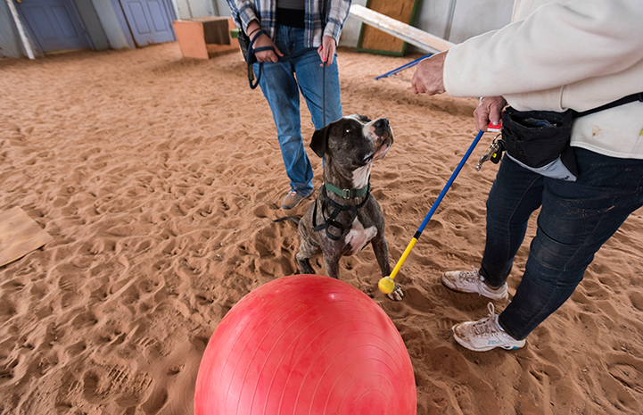 Dianna Stearns giving Treibball training to Sherman the American Staffordshire terrier mix