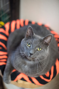 Wrinkles a Russian Blue is a Hurricane Katrina rescue cat