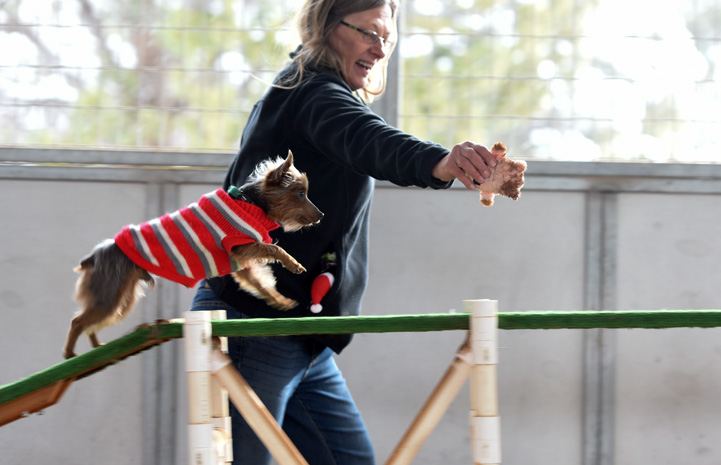 Milky Way the Yorkshire Terrier having a blast on the agility equipment