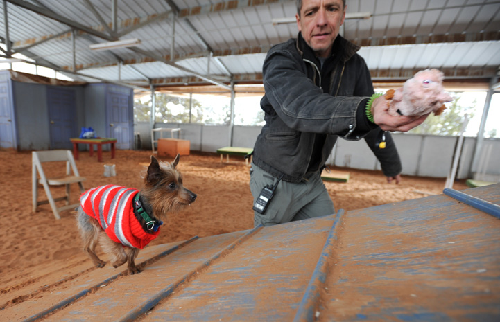 Milky Way the Yorkshire Terrier playing on the agility equipment