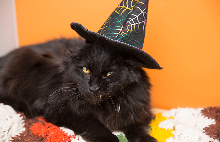 Black cat wearing a witch costume