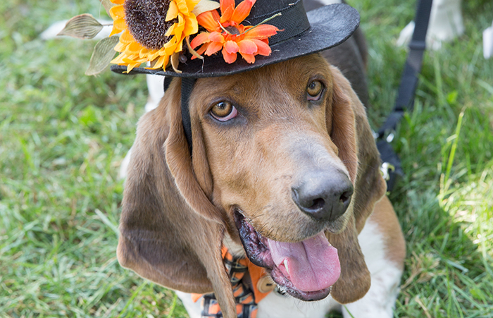 Hound dog wearing a hat with flowers on it