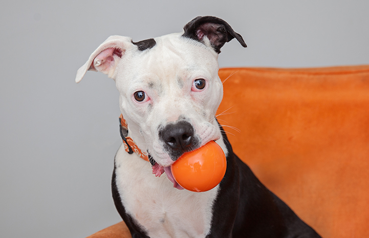 Bonnie Bella the pit bull with an orange ball in her mouth