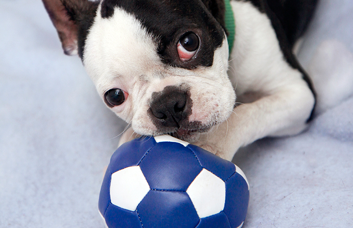 Sylvester the Boston terrier with a soccer ball
