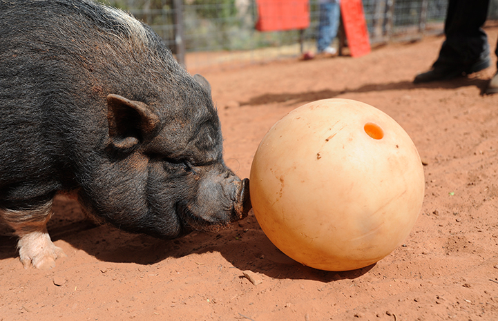 Cherry the potbellied pig with a bowling ball