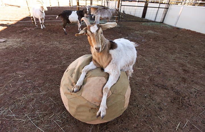 Cupid the goat lounging on a giant soccer ball