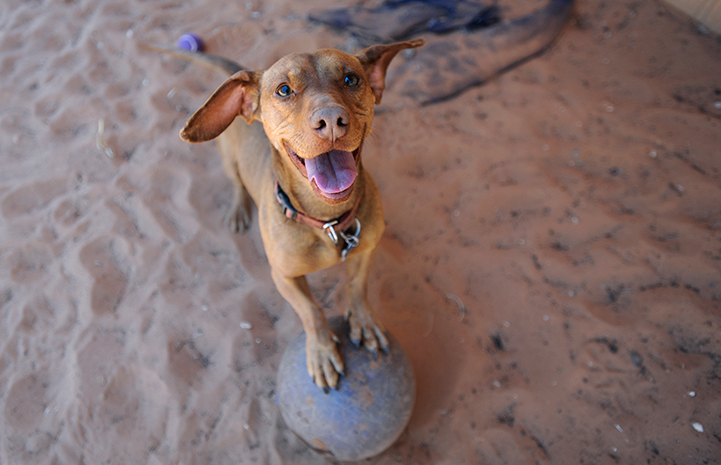 Drusilla the dog balancing on a ball