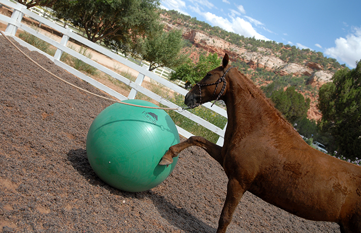 Curly Sue the horse playing with a giant ball