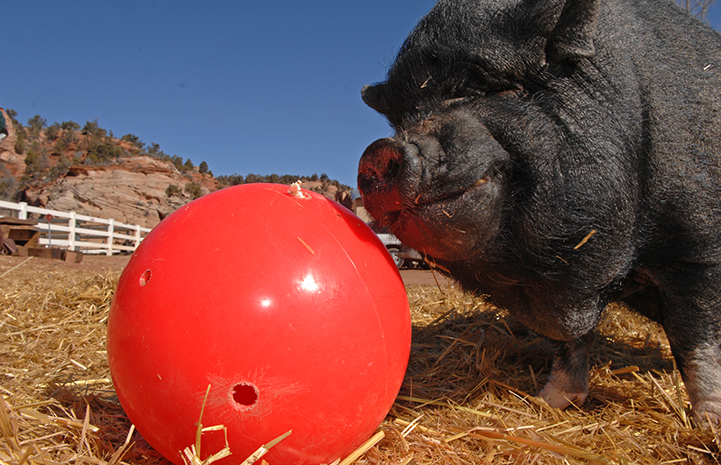 Dagwood the pig playing with a big red ball