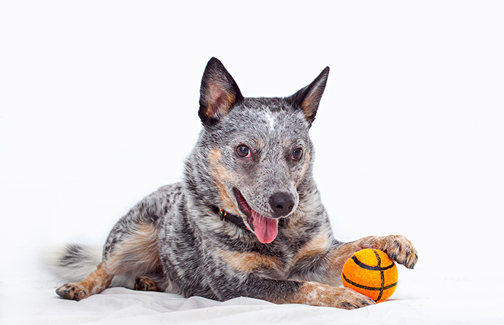 Dexter the Australian heeler with a basketball