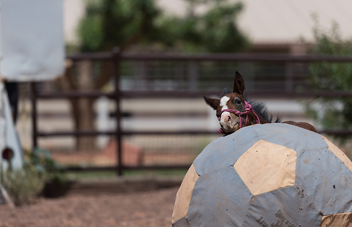 Prince the foal with a giant ball