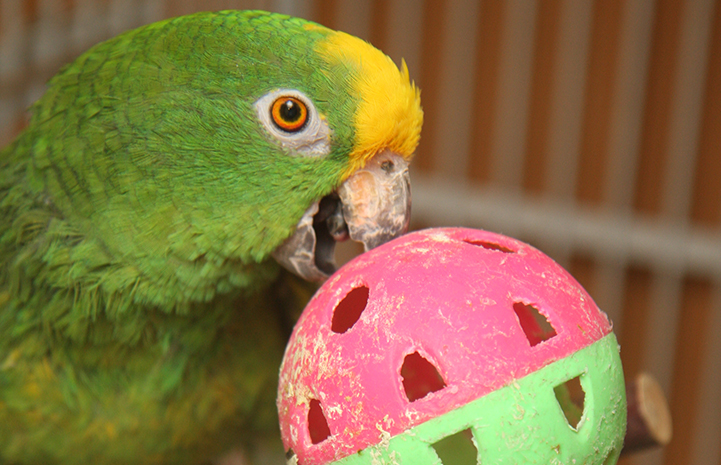 A parrot playing with a ball