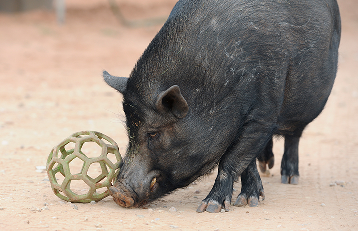 Jack the pig playing with a ball