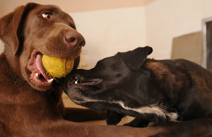 Hickory the dog holding a tennis ball while another dog tries to get it