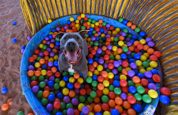 Bruce the dog in a ball pit