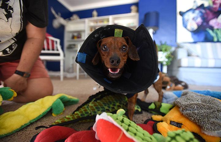 Dixon the wiener dog in a cone