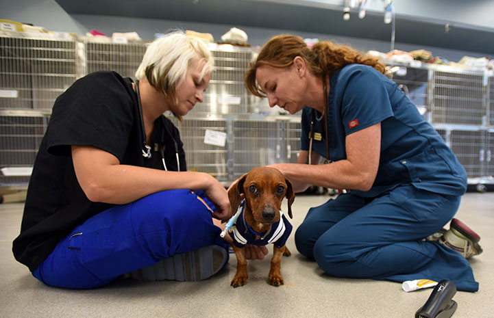 Dixon the dachshund was a trouper throughout all his medical procedures
