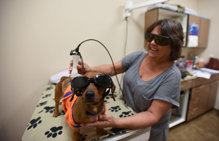 Dixon the wiener dog looking cool during his laser treatment