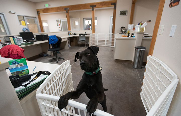 Hooper the black Lab mix at Dogtown admissions