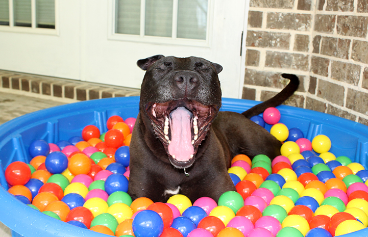 Ebony the pit bull terrier mix enjoying time in a kiddie pool full of balls