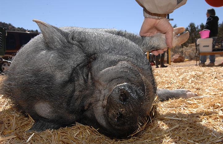 Dagwood the pig