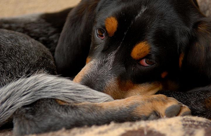 A sleepy Dash the dog