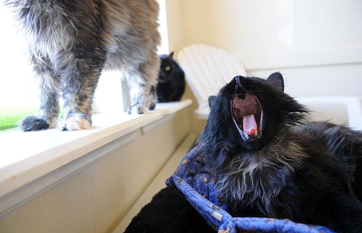 Keenan the cat yawning