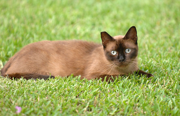 Siamese community (feral) cat in the grass