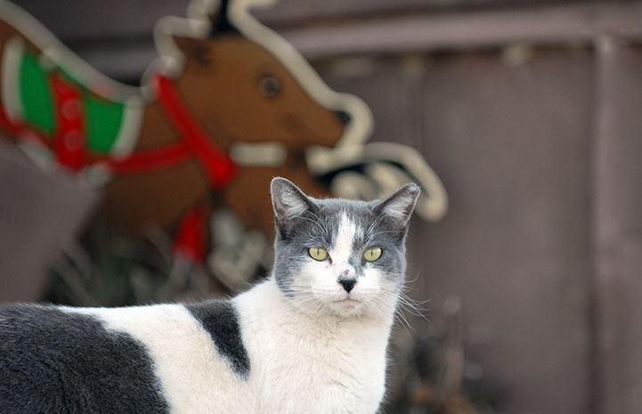 Community cat in front of a reindeer holiday decoration