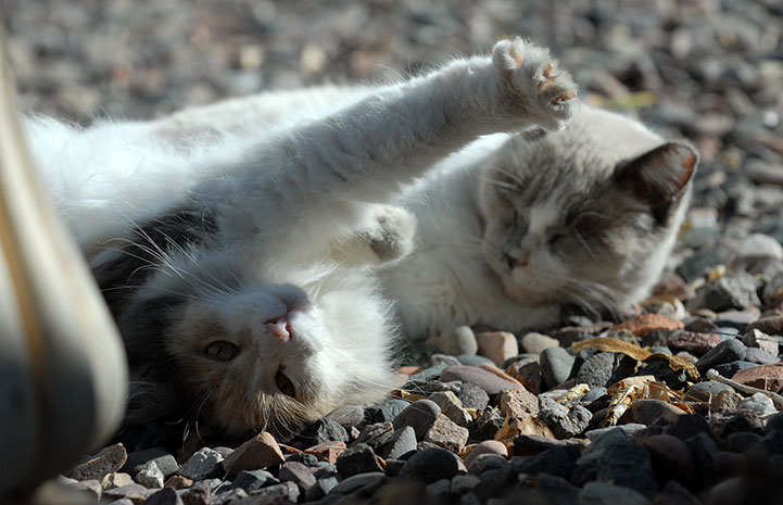Two community cats lying on some gravel