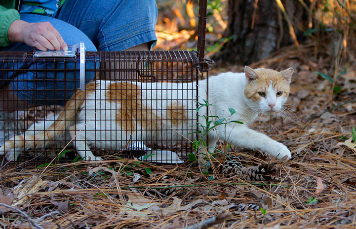 Community cat being released from a live trap