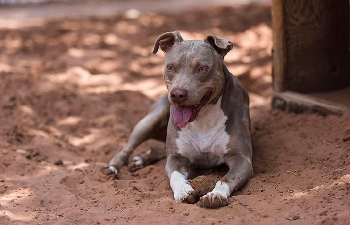 Sting the dog, a pitbull