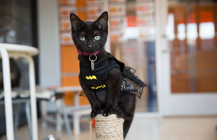 Kitten dressed up as Batman