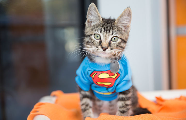 Kitten dressed up as Superman