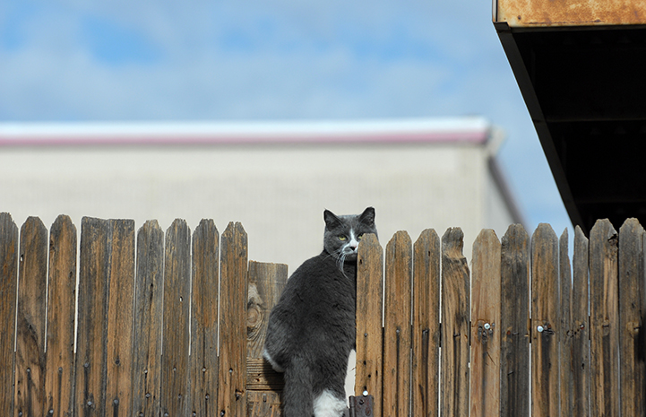 Ear-tipped feral cat sitting on a fence