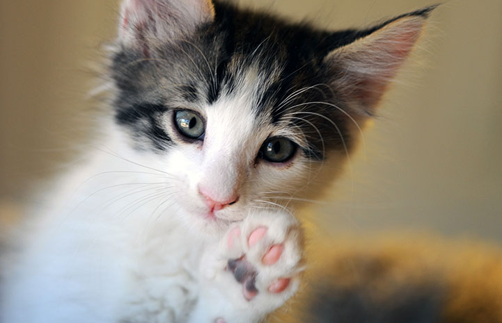 Lux the kitten says talk to the paw